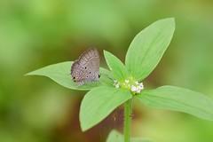 Plains Cupid (sreejithkallethu) Tags: chiladespandava plainscupid മാരൻശലഭം butterflies butterfliesofneeravil butterfliesofkerala neeravil kollam kerala