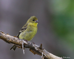 Female Lesser Goldfinch (Mark Schocken) Tags: spinuspsaltria markschocken arizonabirds sedonaarizona femalelessergoldfinch