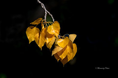 Autumn is coming (Explore Sept 8 2017) (Canon Queen Rocks (1,834,000 + views)) Tags: yellows leaves branches fall autumn nature plants trees golds leaf