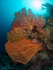 Triplet (Christian Gloor (mostly) underwater photographer) Tags: coral sea fan seafan underwater diving blue water ocean nauticam sulawesi wakatobi olympus