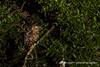黃魚鴞 IMG_2033 (sullivan™) Tags: canoneos7dmarkii ef400mmf56lusm adobephotoshoplightroom5 animal bokeh dof newtaipeicity nature suhaocheng taiwan ketupaflavipes 浩子 新北市 野生鳥類 二次構圖 裁切 格放 第二級珍貴稀有保育類 sullivan 黃魚鴞 黃腿漁鴞 魚木兔 毛腳魚鴞 第二級保育類 稀有留鳥 貓頭鷹 tawnyfishowl 魚堀溪 烏來 新店 坪林 石碇 福山 翡翠水庫 南勢溪 北勢溪 桶後溪 大羅蘭溪 平廣溪 金瓜寮溪 姑婆寮溪 魚逮魚堀溪 逮魚堀溪