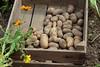 CKuchem-5989 (christine_kuchem) Tags: bauerngarten beet biogarten erde ernte erntekiste erntezeit feld frühkartoffel garten gartenerde gemüse gemüsebeet gemüsegarten glorietta grabgabel herbst holz holzkiste kartoffel kartoffelbeet kartoffelfeld kartoffelkiste kiste naturgarten nutzgarten pflanze privatgarten rarität sorte sortenvielfalt vielfalt alt bio biologisch frisch früh gesund naturnah natürlich reif