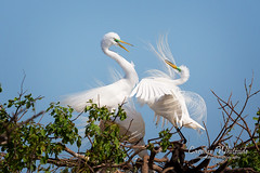 White Egrets Courting 2