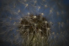 Before the wind (Judit T) Tags: dandelion plant nature seeds brasil
