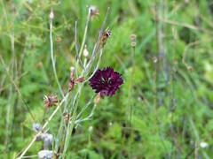Pourpre - Purple (p.franche - Thanks over 6 Millions vews - Merci po) Tags: blume 花 blomst flor פרח virág bunga bláth blóm bloem kwiat цветок kvetina blomma květina ดอกไม้ hoa زهرbloem naturewildsauvagebokehsuperbokekmacrocloseupparcjosaphatjosaphatparkschaerbeekschaarbeekbruxellesbrusselbrusselsbelgiumbelgiquebelgïeeuropepfranchepfranchepascalfranchepanasonicfz200hdrdxoflickreliteة