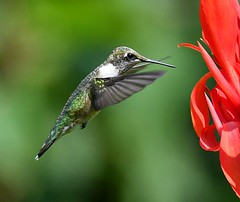 Hummingbird (KoolPix) Tags: rubythroatedhummingbird hummingbird bird feathers beak wings bif birdinflight flying flight mnsa marinenaturestudyarea koolpix jaykoolpix naturephotography nature wildlife wildlifephotos naturephotos naturephotographer animalphotographer wcswebsite nationalgeographic fantasticnature amazingnature wonderfulbirdphotos animal amazingwildlifephotos fantasticnaturephotos incrediblenature naturephotographywildlifephotography wildlifephotographer mothernature