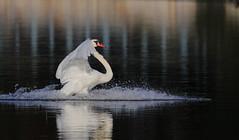 Swan Lake (Daniel Q Huang) Tags: birds inflight swan water lake zoom outdoor