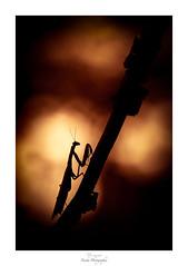 Dans le feu de l'action (Naska Photographie) Tags: naska photographie photo photographe paysage proxy proxyphoto été summer macro macrophotographie macrophoto extérieur nature sauvage mante religieuse mantidae mantodea mantis insectes color couleur bokeh flare imaginaire imaginarium onirique onirisme minimaliste minimalisme silhouette monochrome landscape voyage travel univers ambiance feu fire contre jour
