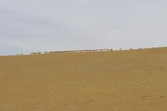 IMG_0423 (y.awanohara) Tags: antelope tibet tibetanantelope may2017 ngari