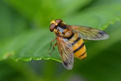 Volucella inanis - Friday Flyday! (suekelly52) Tags: fly hoverfly flydayfriday diptera volucellazonaria volucellainanis