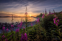 Countdown to winter (Traylor Photography) Tags: alaska fireweed southeast hailbutpointroad wildflowers sunset rocks mtedgecumbe winter baranofisland japonskyisland sandybeachrecreationarea sitka hpr clouds unitedstates us