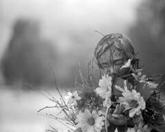Eternal (macromary) Tags: 120 120film analog 105mm f24 florida pentax6x7 mediumformat foma fomapan fomapan100 blackwhite analogphotograph bokeh bw blackandwhitefilm filmcamera film mechanicalcamera vintage vintagecamera nwflorida levycounty cedarsoflebanon cedarsoflebanoncemetery cemetery grave stone flowers gravestone