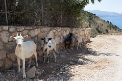 Pasqyrat, Ksamil, Albania (Tokil) Tags: pasqyrat ksamil butrintnationalpark albania balkans east trip colors sea mediterranean summer nature goats animals shqipëri shqipëria street road nikond90