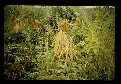 Upland Rice Cultivation = シエラレオネの畑稲作