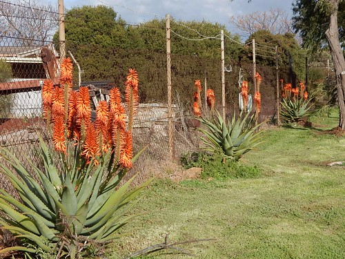 Red Hot Pokers Along the Fence