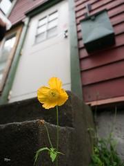 Yellow poppy of Bergen (un2112) Tags: bergen poppy yellow flower door norway g80 september urbannature
