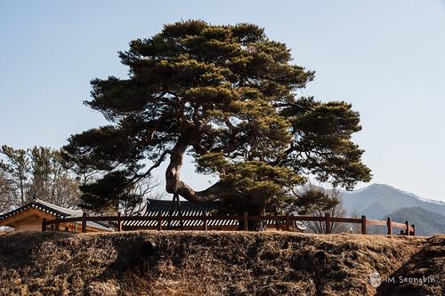 Old Pine Tree(소나무 고목)