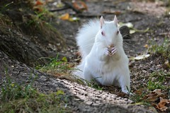 The Stare Down (rabidscottsman) Tags: scotthendersonphotography squirrel albino albinosquirrel animal wildlife nature wild eating sunday weekend critter mn minnesota lakevilleminnesota nikon nikond7100 d7100 sigma sigma150500 whitesquirrel twincities socialmedia instagram usa unitedstatesofamerica