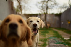 SELFIE (su-sa-ni-ta) Tags: roger selfie oioi labrador golden buenfindesemana cordoba argentina septiembre hoy today flickr amigos friend