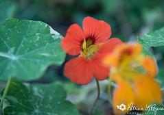 flower orange nasturtiums