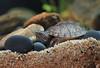 IMG_9776 (Laurent Lebois ©) Tags: laurentlebois france reptile rettile reptil рептилия tortue turtle tortoise tortuga tartaruga schildkröte черепаха chelonia sternotherus minor terrariophilie razorbackmuskturtle cinosterne