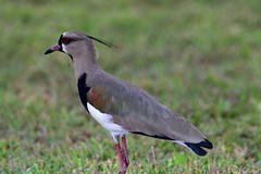 Southern Lapwing (Vanellus chilensis) (Jeffrey Jang Photography) Tags: southernlapwing vanelluschilensis gamboa colon panama pa animal avian bird nature naturephotography nikon wildlife wildlifephotography centralamerica jeff jeffrey jang jeffreyjangphotography b165082017