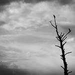 Cormorant Tree thumbnail