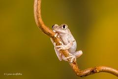 Big-Eyed Tree Frog D50_8221.jpg (Mobile Lynn) Tags: amphibian frog nature bigeyedtreefrog captive fauna peacocktreefrog wildlife bournemouth england unitedkingdom gb coth specanimal sunrays5 ngc coth5 npc