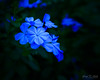 Plumbago in the Yard (grhphotographer) Tags: flickr lensbaby blue flower green plumbago