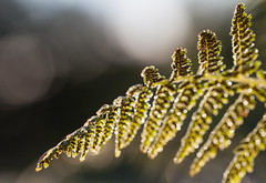 Rosée de matin (sosivov) Tags: sweden macro earlymorning morning drops droplets dew fern