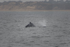 America Holiday 2017 - Whale Watch Boat Trip (Evo800) Tags: monterey bay california whale watch trip july 2017 usa holiday sea water humpback whales nikon d610