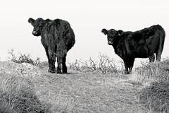 Indignance (Gram Joel Davies) Tags: bw blackandwhite monochrome pose cattle animal domestic cow herd contrast