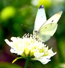Beautifull White (barbara_donders) Tags: wit groen green vlinder butterfly summer zomer bokeh prachtig mooi magical beauty nature natuur bloem flower