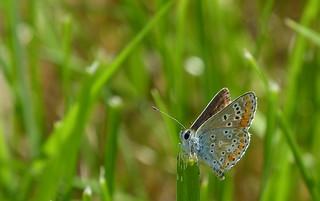 Common blue female - Icarusblauwtje