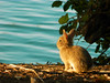 Little rabbit looking at the sunset (theSnoopyG - thanks for over 1/2 million views!) Tags: rabbit lake sunset coniglio coniglietto conigliodomestico coniglionano bunny tramonto lago water waterscape acqua pet animal animals animale wild wildlife light portrait