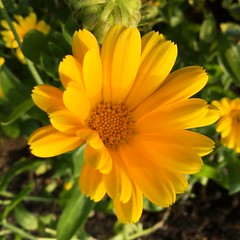 Marigold (Martellotower) Tags: marigold yellow september