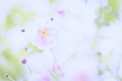 a n e m o n e n (_andrea-) Tags: anemonen herbstanemonen 50mm planart1450 carlzeiss planar14 objektiv mount 14f sonyphotography sonyzeiss nature highkey pastel dreamy