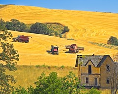 Wheat Harvest near Abandoned House 3440 B (jim.choate59) Tags: wheat field wheatfield abandoned farm abandonedhouse rural ruraldecay decay august summer harvest jchoate dufuroregon dufur oregon hot combines combineharvester gold d610 wascocounty on1pics