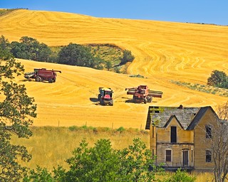 Wheat Harvest near Abandoned House 3440 B