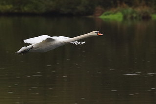 Mute Swan in flight_MG_1306