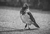 Cornacchia Grigia // Corvus Cornix (Christian Papagni   Photography) Tags: segrate lombardia italia it laghettodeicigni milano2 due bird birds black white biancoenero cornacchia grigia corvus cornix matte