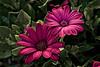 Two beauties (Wal Wsg) Tags: twobeauties dosbellezas flowers flower flor flores floresflowers naturaleza nature natural naturale flora argentina canoneosrebelt3 colors colores