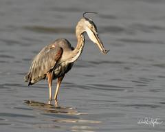 Eye-To-Eye (dcstep) Tags: dsc5435dxo gbh greatblueheron heron bird fishing catch minnow eye water sonya9metaboneseftoetadaptermkvef500mmf4lisiief20xtciii1 000mmcherrycreekstateparkcherrycreekreservoirlakereservoirallrightsreservedcopyright2017davidcstephensdxoopticspro1142handheld pixelpeeper
