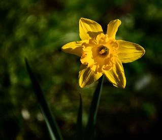Daffodil day 25th August.