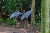 20170820-0I7A0530-Sarus crane (siddharthx) Tags: singapore sg saruscrane canon7dmkii nature ef100400mmf4556lisiiusm jurongbirdpark aviary bigbirds largebirds