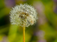 Wind Blown (Alemap.1) Tags: dandelion seeds nature