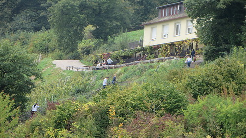 Harvesting the grapes - Rüdesheim am Rhine