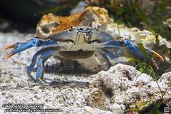 Atlantic Blue Crab - Callinectes sapidus (puffinbytes) Tags: spb:id=0309 callinectes taxonomy:genus=callinectes callinectessapidus taxonomy:species=sapidus taxonomy:binomial=callinectessapidus spb:species=callinectessapidus atlanticbluecrab taxonomy:common=atlanticbluecrab portunidae taxonomy:family=portunidae swimmercrabs decapoda taxonomy:order=decapoda malacostraca taxonomy:class=malacostraca arthropoda taxonomy:phylum=arthropoda arthropods animalia taxonomy:kingdom=animalia animals londonaquarium london england spb:pty=c spb:pid=0z93 spb:lid=003c spb:country=uk unitedkingdom greatbritain
