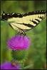 Butterfly (Steve4343) Tags: nikon d70s butterfly nature purple thistle yellow black steve4343