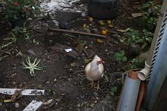 o lar da Dona Hlinha (quanaval_sp) Tags: jardim garden gata galinha hen cat